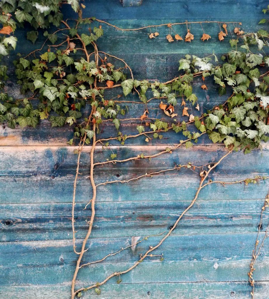 edera e legno vecchio